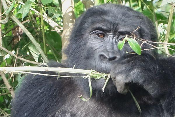 Gorillas Uganda Bwindi