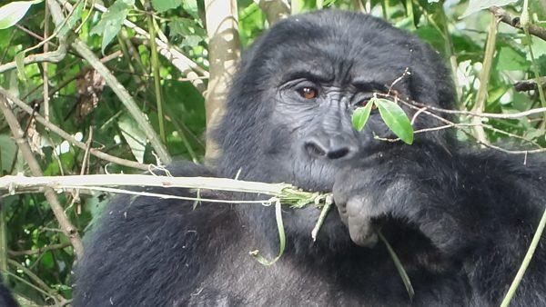 Gorilla tracking in Bwindi Impentrable National Park, Uganda
