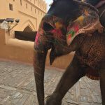 Elephant at Amur Fort in Jaipur India